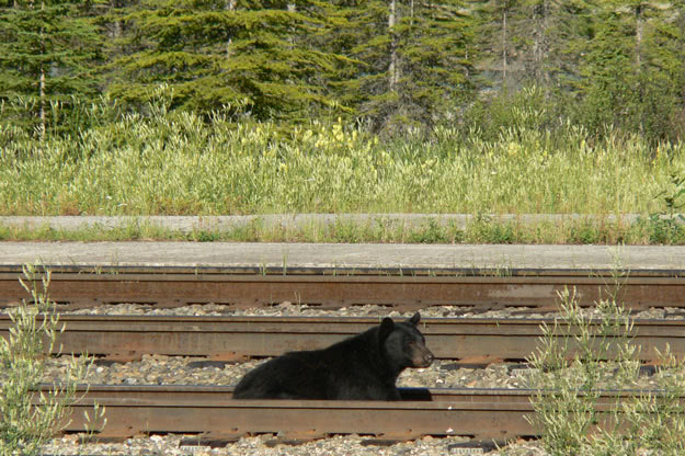 A Black Bear looks for a cheap meal dropped on the tracks by a leaky grain car